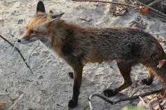 222 2013 Fuchs 1 hd