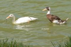 115 Ducks Tejina Ponds 2007 08
